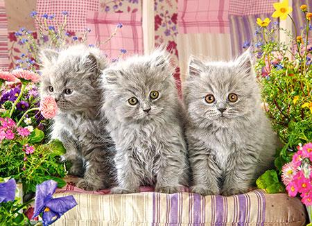 Drei graue Katzenkinder
