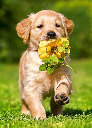 hundchen-mit-gelber-rose