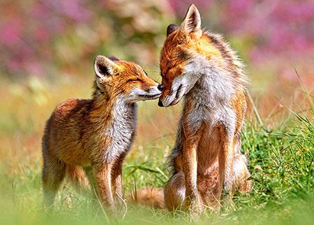 Kleiner Fuchs mit seiner Mutter