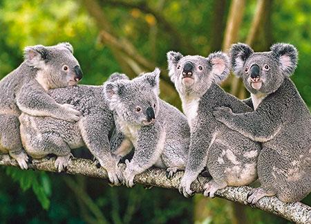 die-koalafamilie