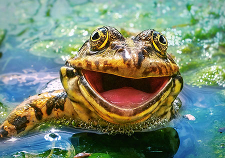 lachender-frosch