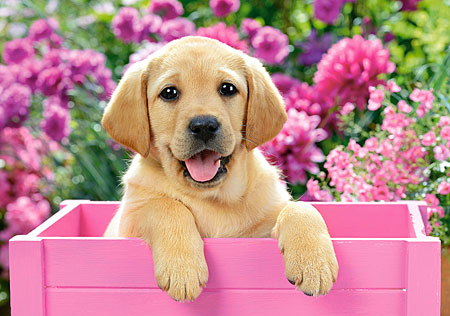 Labradorwelpe in einer pinken Kiste