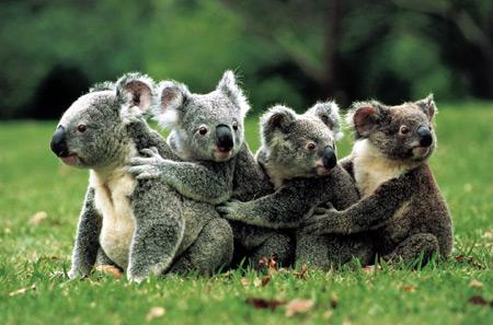 clementoni 30158 koala familie