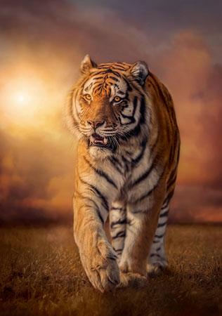 heranschleichender-tiger
