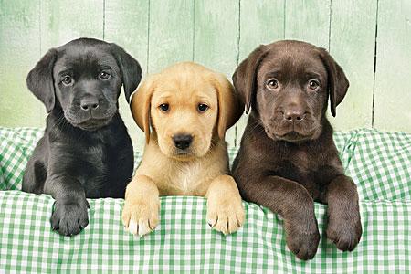Die drei drolligen Labradore