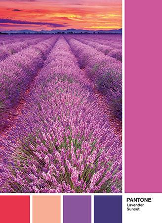 Pantone - Blühendes Lavendelfeld