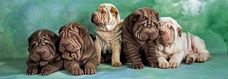 Shar-Pei Hunde
