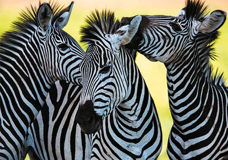 drei-zebras