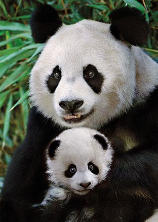 su-e-panda-familie