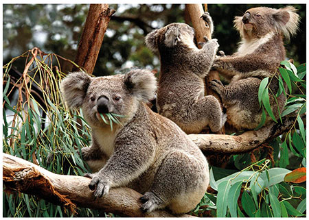 koalabande