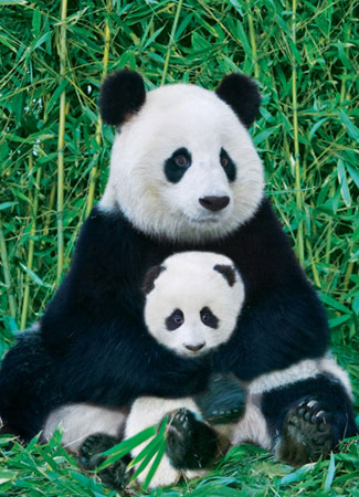 Panda und Baby