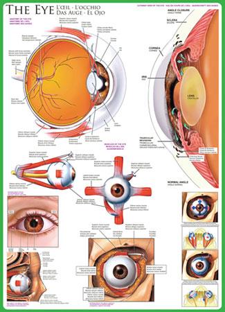Das Auge,