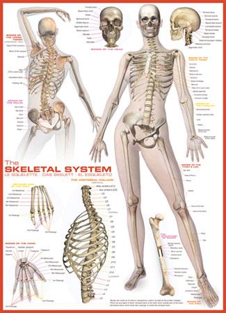 Eurographics 6000-2014 Skelettsystem