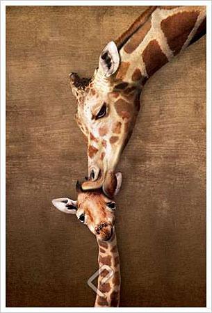Mütterlicher Giraffenkuss