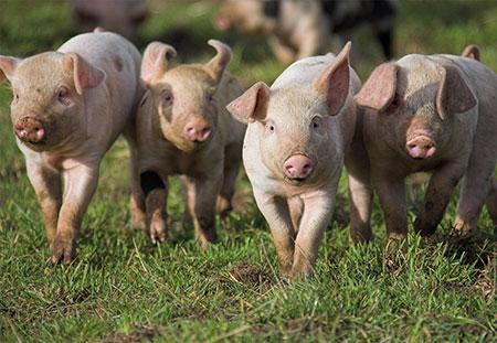 RSPCA - Süße Schweinchen