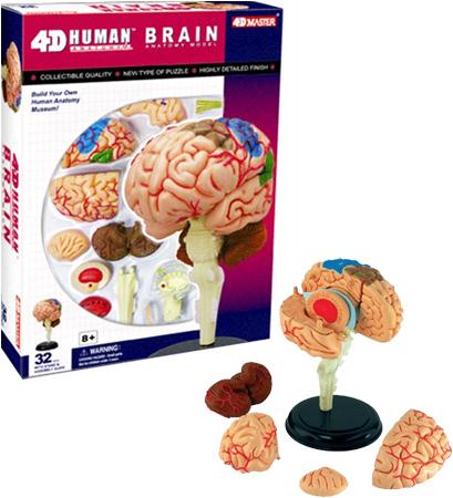 Anatomie Puzzle Gehirn