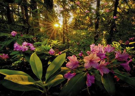 Puzzle Rhododendron im Wald