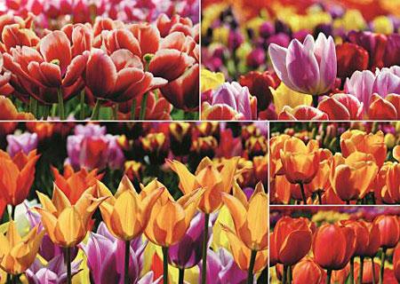 hollandische-tulpen-collage