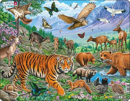 Amur-Tiger im sibirischen Sommer