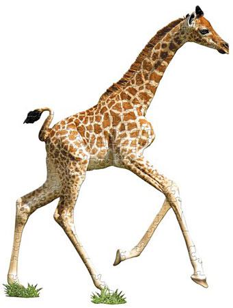 Giraffen Kalb