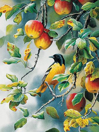 Pirol auf dem Apfelbaum