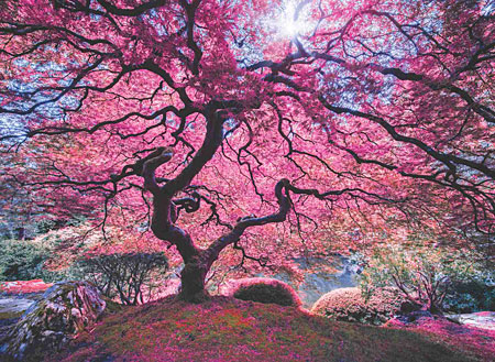 Baum voller pinker Blüten