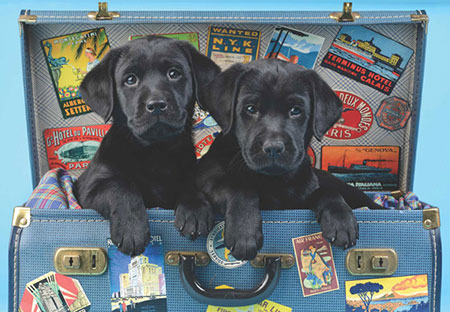 Labradorwelpen wollen verreisen