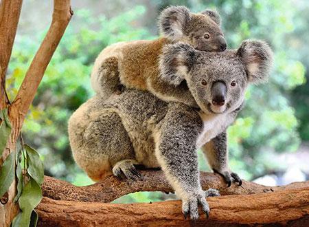 Koalafamilie