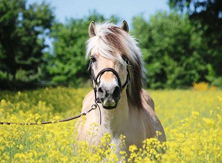 pferd-im-rapsfeld