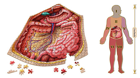 Dr. Livingstons: Anatomiepuzzle - Der menschliche  Bauch (3 von 7)