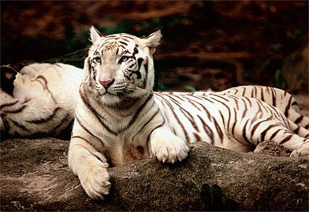 indischer-tiger, 11.59 EUR @ puzzle